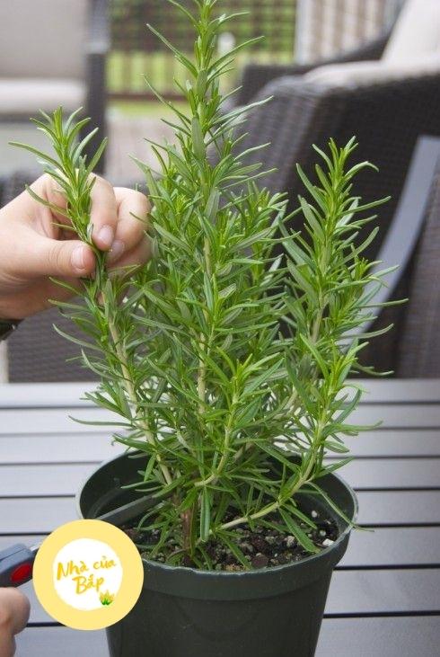 Cách chăm sóc cây hương thảo