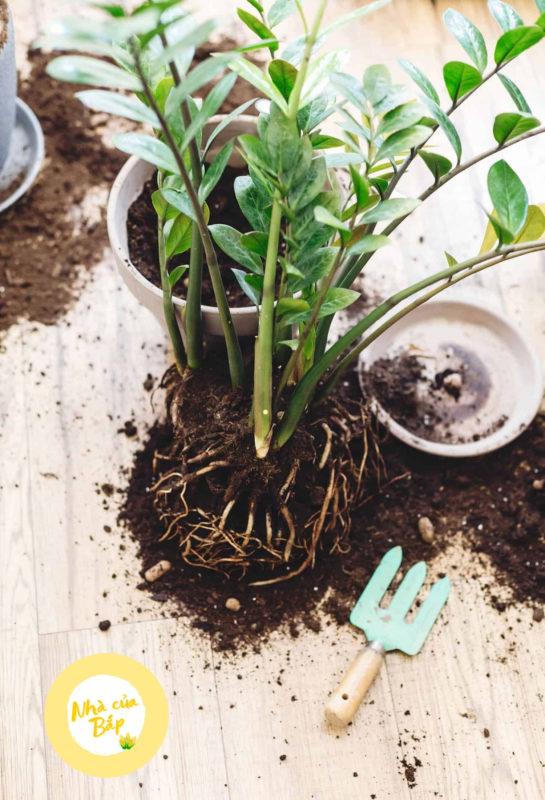 Cách chăm sóc cây phát tài