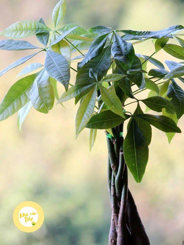 Cách trồng cây kim Ngân