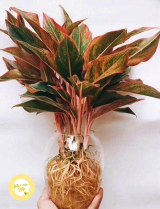 Cách trồng cây phú quý thủy sinh