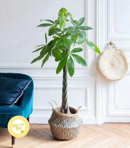Chọn mua cây Kim Ngân