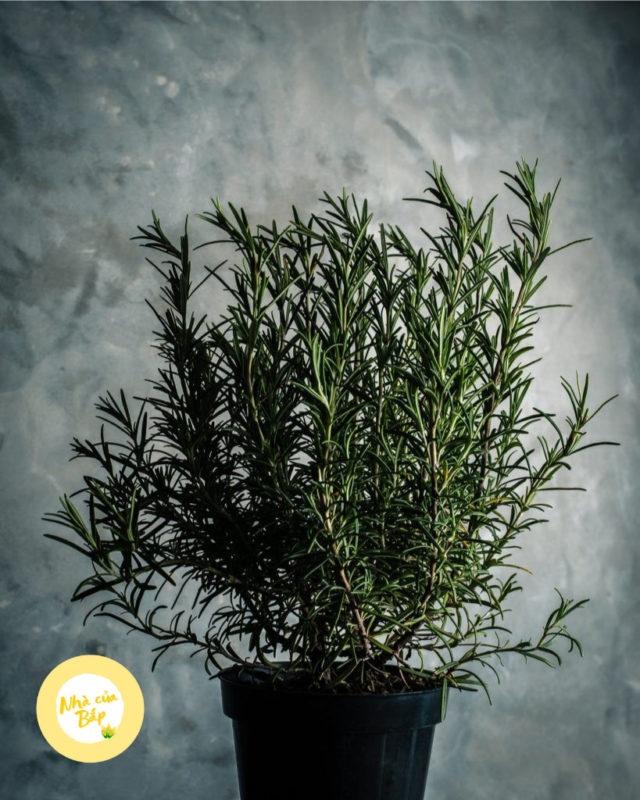 Ý nghĩa cây hương thảo