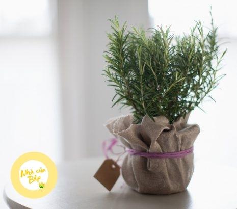 cây hương thảo làm cảnh và quà tặng