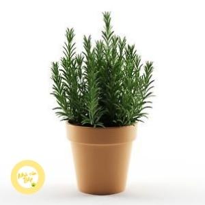 lưu ý khi trồng cây hương thảo